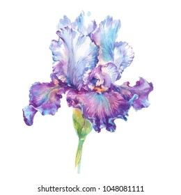 Purple and violet iris isolated on white background watercolor botanical illustration