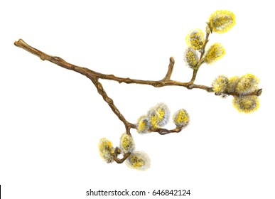 Pussy willow blooming tree branch. Color pencil drawing on white background. Image for spring and Easter celebration