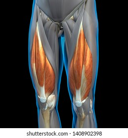 Quadriceps Leg Muscles Isolated, Front View, 3D Rendering