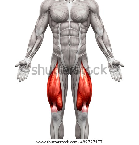 Royalty Free Stock Illustration of Quadriceps Male Muscles Anatomy ...
