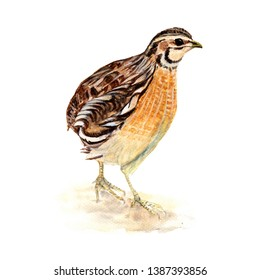 Quail, Bird, Chicken watercolor illustrations and Hand drawn sketch. Watercolor painting Cute Quail, Bird, Chicken on white background.