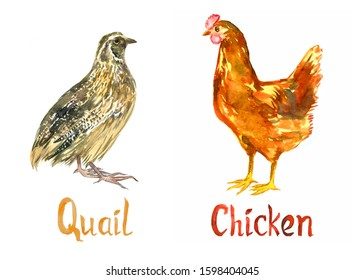 Quail and chicken, hand painted isolated watercolor illustration design element for invitation, card, print, posters