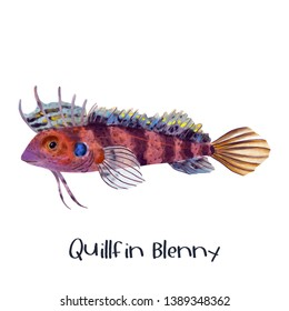 Quillfin Blenny fish animal illustration