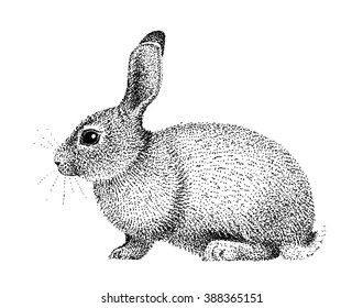 Rabbit illustration old lithography style hand drawn