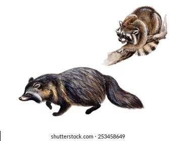 The raccoon ( Procyon lotor) and The raccoon dog (Nyctereutes procyonoides)
