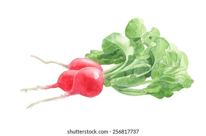 Radishes with leaves. Watercolor illustration.