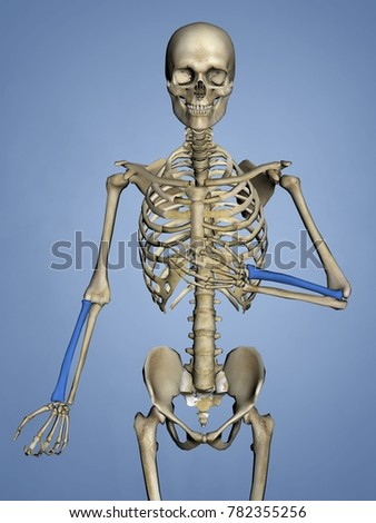 Royalty Free Stock Illustration of Radius Human Skeleton 3 D Model