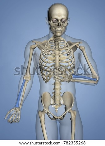 Radius Human Skeleton 3 D Model Stock Illustration 782355268
