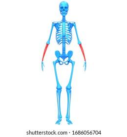 Radius and Ulna Bone Joints of Human Skeleton System Anatomy 3D Rendering