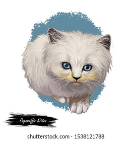 Ragamuffin kitten digital art illustration. Watercolor realistic portrait of furry cat face. Muzzle of kitty similar to ragdoll cat. Domesticated animal in closeup. American pussycat with blue eyes