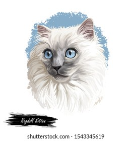 Ragdoll kitten digital art illustration. Domesticated catty with long fur and blue eyes. Watercolor portrait of catty muzzle. Puppy-like cat originated from USA. Cat-dog with white hair in closeup