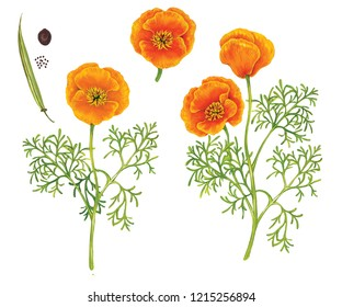 ralistic botanic watercolor hand made of california poppy (Eschscholzia Californica) with a plant with flowers, leaves and seeds isolated on white