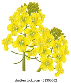 Rapeseed flower (Brassica napus) on white background. Raster version.
