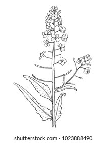Rapeseed leafs and flowers hand draw illustration