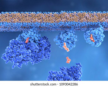 Ras activation Inactive Ras protein (left) is activated by a GEF protein opening the binding site and allowing GDP to exit. GTP can now bind to RAS turning it into the active form(right). 3d rendering
