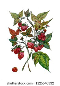 Raspberry branch. Wild berry. Medicinal Herbs. Berry on isolated background.