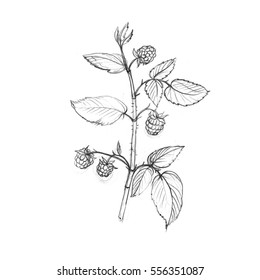 raspberry tree branches with berries and leaves, drawing by graphite pencil,isolated hand drawn element