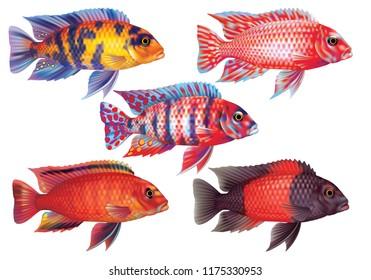 Raster version / Aquarium fish red cichlids
