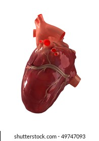 Real human heart isolated