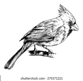 Realistic Bird Sketch, Hand Drawn With Pen And Ink, Northern Cardinal Female Illustration.