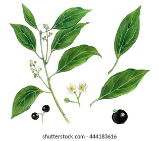 realistic botanic illustration of camphor tree (Cinnamomum camphora) with a branch with leaves, flowers and fruits
