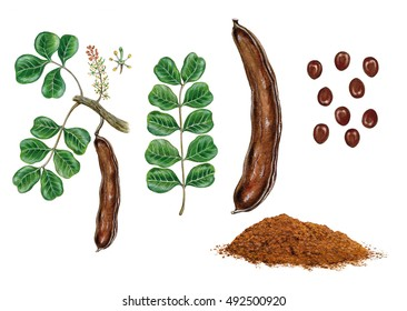 realistic botanic illustration of carob (ceratonia siliqua) tree with a branch with flowers and leaves, seeds and powder.