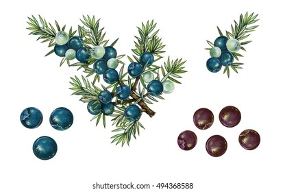 realistic botanic illustration of juniper plant (juniperus communis i) with a branch with berries and leaves.