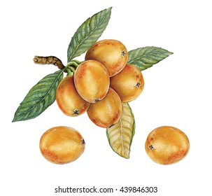 realistic botanic illustration of loquat (Eriobotrya japonica) with fruits and leaves