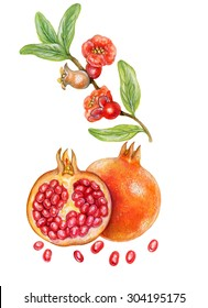 realistic botanic illustration of pomegranate ( punica granatum) with fruits, seed, flowers and leaves