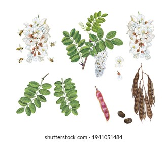 realistic botanic watercolor hand drawn illustration of black locust (Robinia pseudoacacia) with flowers, leaves, pod and seeds isolated on white.