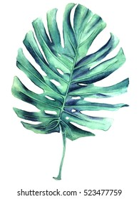 Realistic botanical illustration leaf monstera plant