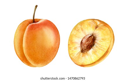 Realistic botanical watercolor illustration apricot fruit: whole and half slice commercial juicy isolated clipart hand drawn, fresh tropical food exotic orange yellow color for food label design