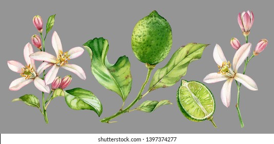 Realistic botanical watercolor illustration lime fruit branch: whole and boat, commercial isolated clipart on grey background hand drawn citrus, fresh tropical food green color