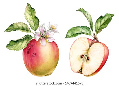 Realistic botanical watercolor illustration red apple fruit: whole and half slice, green leaves branch, white flowers blossom commercial detailed isolated clipart hand drawn, fresh juicy food