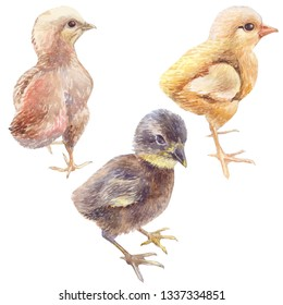 Realistic drawing of chickens drawn from nature, isolated, on a white background, watercolor, hand-drawn
