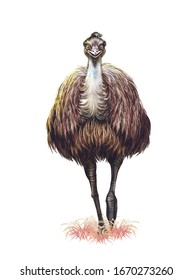 realistic drawing, illustration for encyclopedia, Australian animal emu ostrich (Dromaius novaehollandiae), isolated image on white background