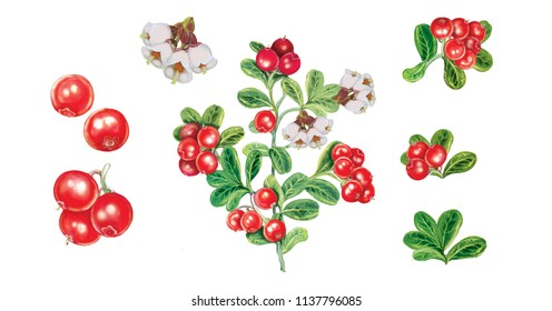 realistic hand made illustrations of  lingonberry (vacciniun vitis idaea) with flowers, fruits and leaves on white