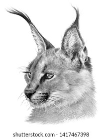 Realistic handdrawing portrait of caracal. Wild big cat on white background.