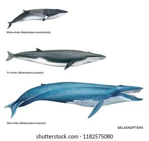 realistic illustration of 3 species of balaenoptera on white background: minke whale (Balaenoptera acutorostrata), fin whale (Balaenoptera physalus) and blue whale (balaenoptera musculus).