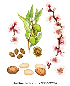 realistic illustration of almond tree (prunus dulcis) with a brunch with flowers, leaves and almonds, green almonds, unshelled and shelled  almonds, blanched almonds