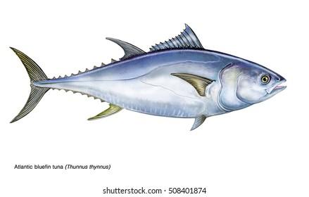 realistic illustration of a bluefin tuna (Thunnus thynnus)