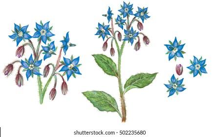 realistic illustration of borage ( borago officinalis) plant with flowers