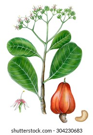 a realistic illustration of a branch of cashew nut (Anacardium sp.) with leaves, fruit and flowers