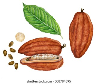 realistic illustration of cacao (Theobroma cacao) with drupa, leaves and seeds