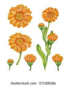 realistic illustration of calendula (calendula officinalis) plant with flowers. Botanic watercolor hand drawn drawing on white.