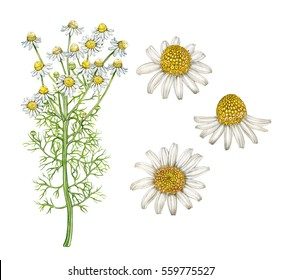 realistic illustration of chamomile  plant with flowers. Botanic watercolor hand drawn drawing on white.