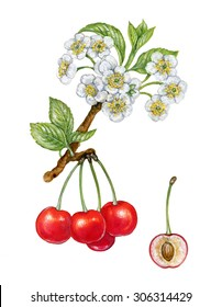 realistic illustration of cherry (Prunus avium) with a branch with flowers and leaves