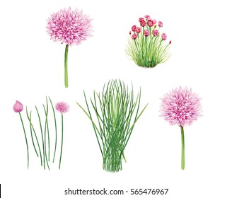 realistic illustration of chives ( allium schoenoprasum) plant with flowers and leaves. Botanic watercolor hand drawn.