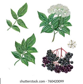 realistic illustration of elderberry  (sambucus nigra) plant with a branch with flowers and leaves, berries. Botanic watercolor hand drawn on white.