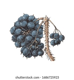 Realistic illustration of Eleutherococcus plant o white background isolated. Prickly medicinal plant with ripe berries